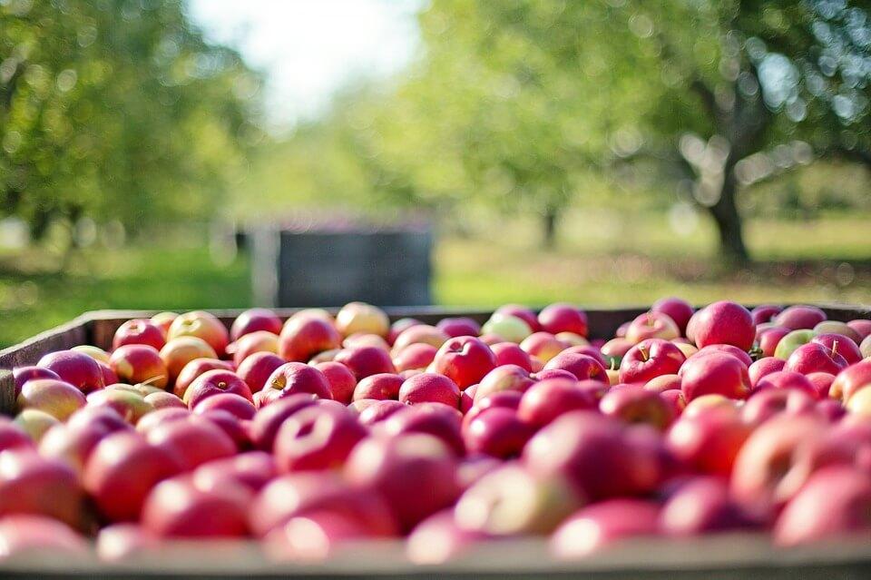 увеличить урожай яблок