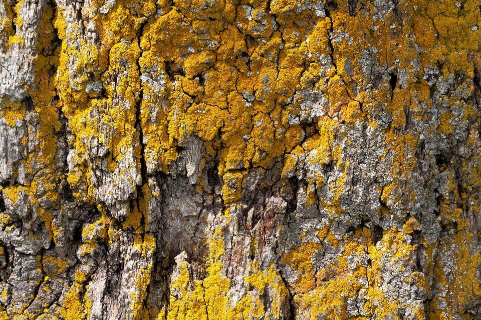 лишайники живущие на коре деревьев