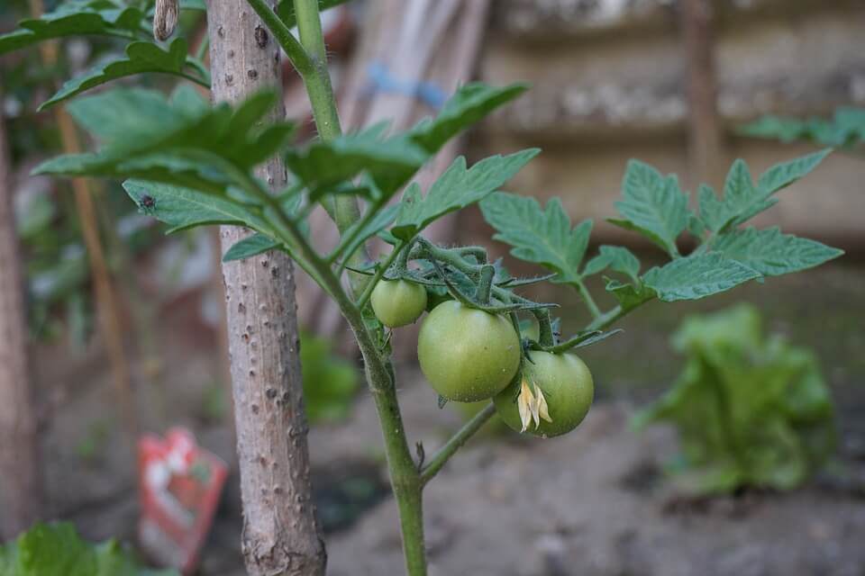 как выбрать рассаду помидор