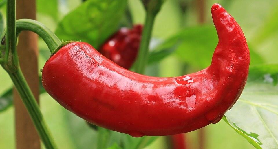 самые урожайные сорта горького перца