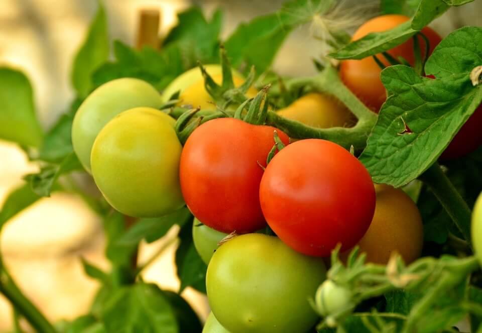 когда нужно срывать помидоры в открытом грунте