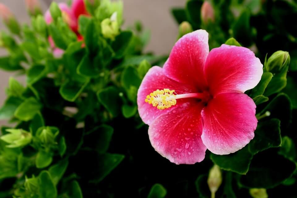 лучшие комнатные растения гибискус