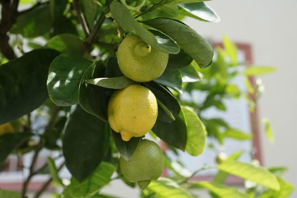 лучшие комнатные растения лимон