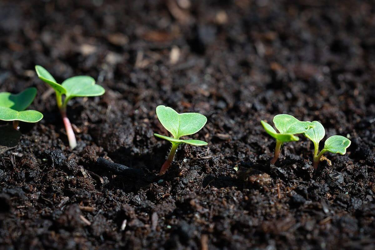 вырастить редис на компостной куче