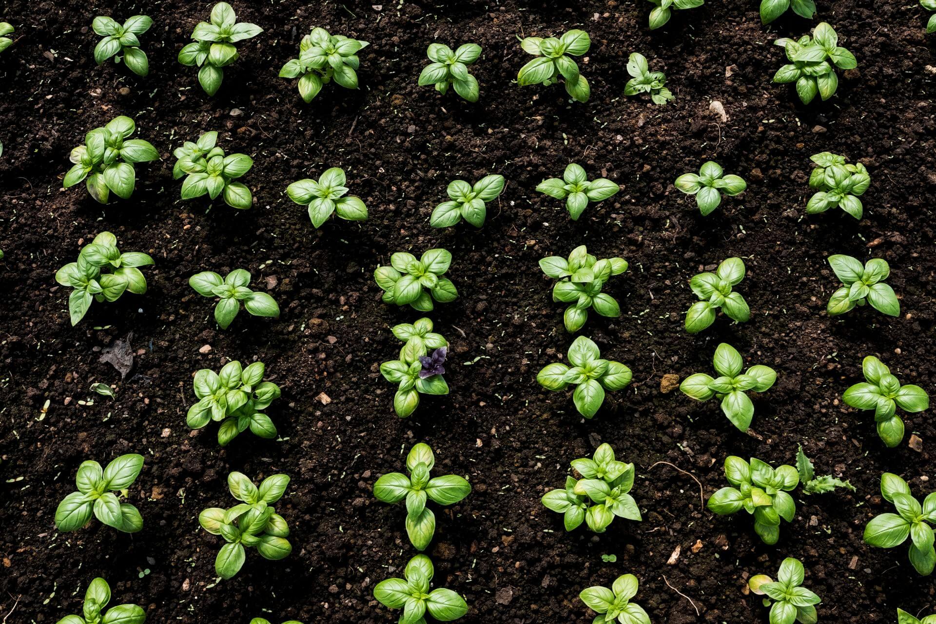 как вырастить базилик