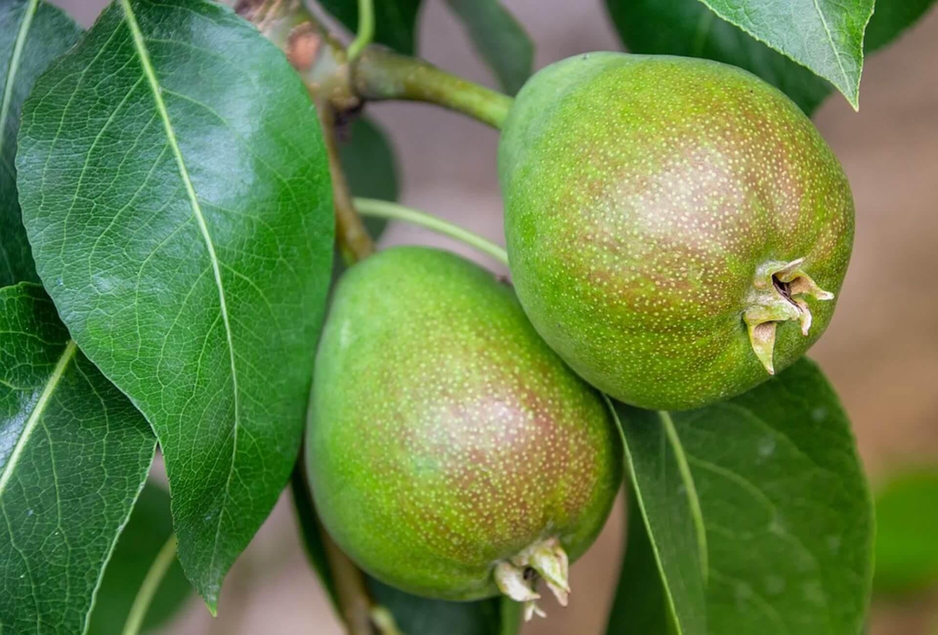 Как ускорить рост саженцев и ускорить плодоношение груши