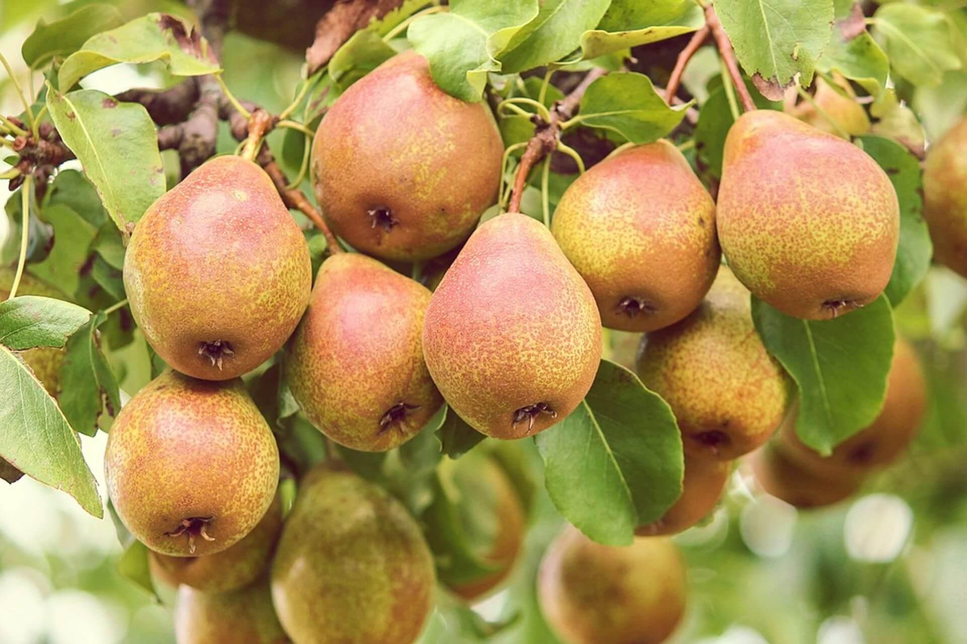 как ускорить плодоношение груши