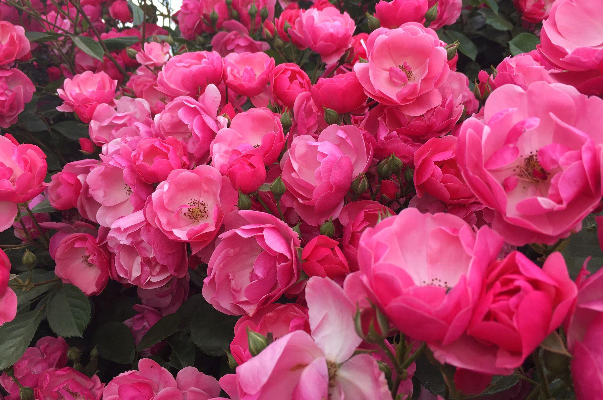 как правильно устроить клумбу с розами