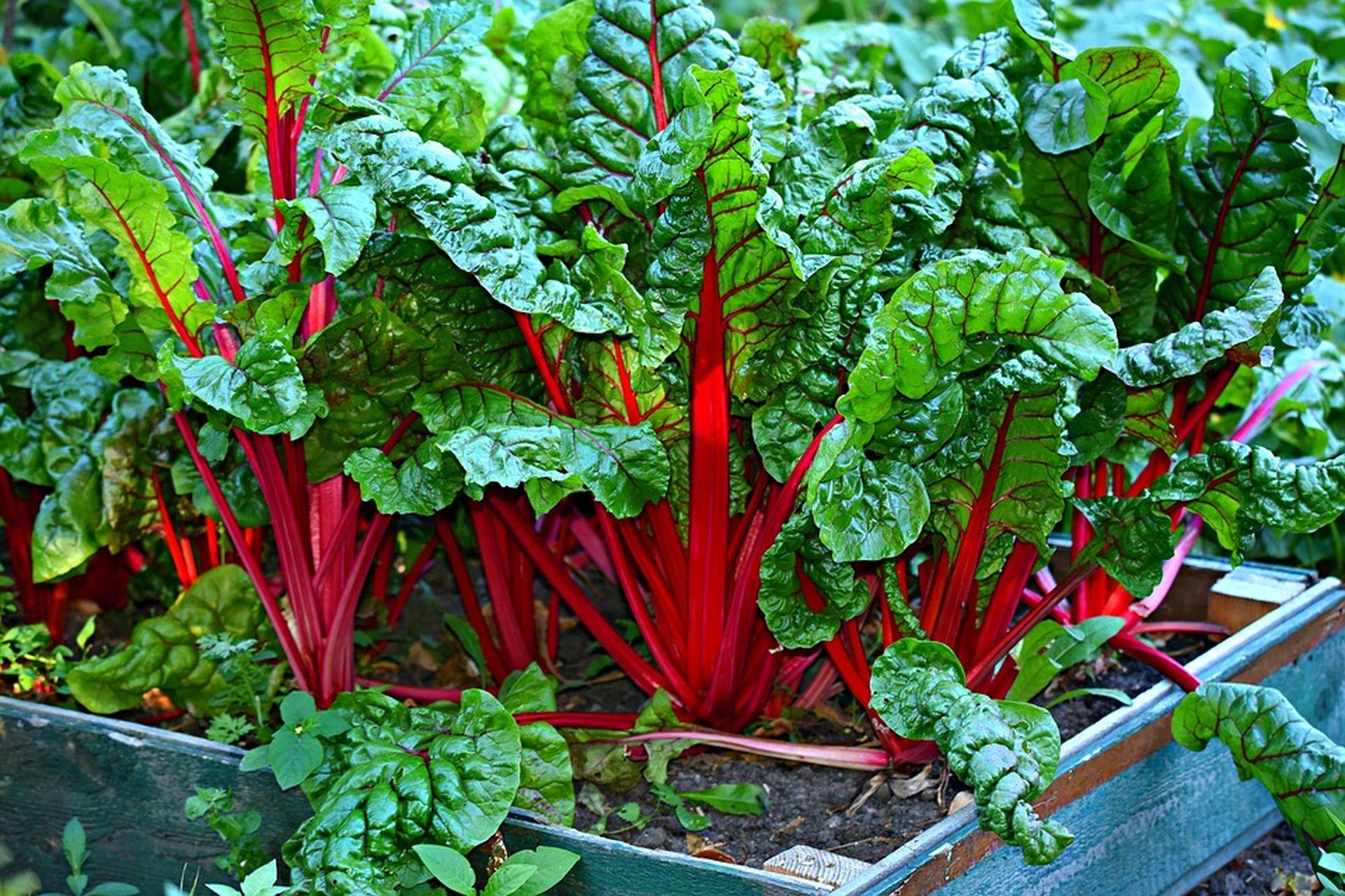 соседство овощей на грядке