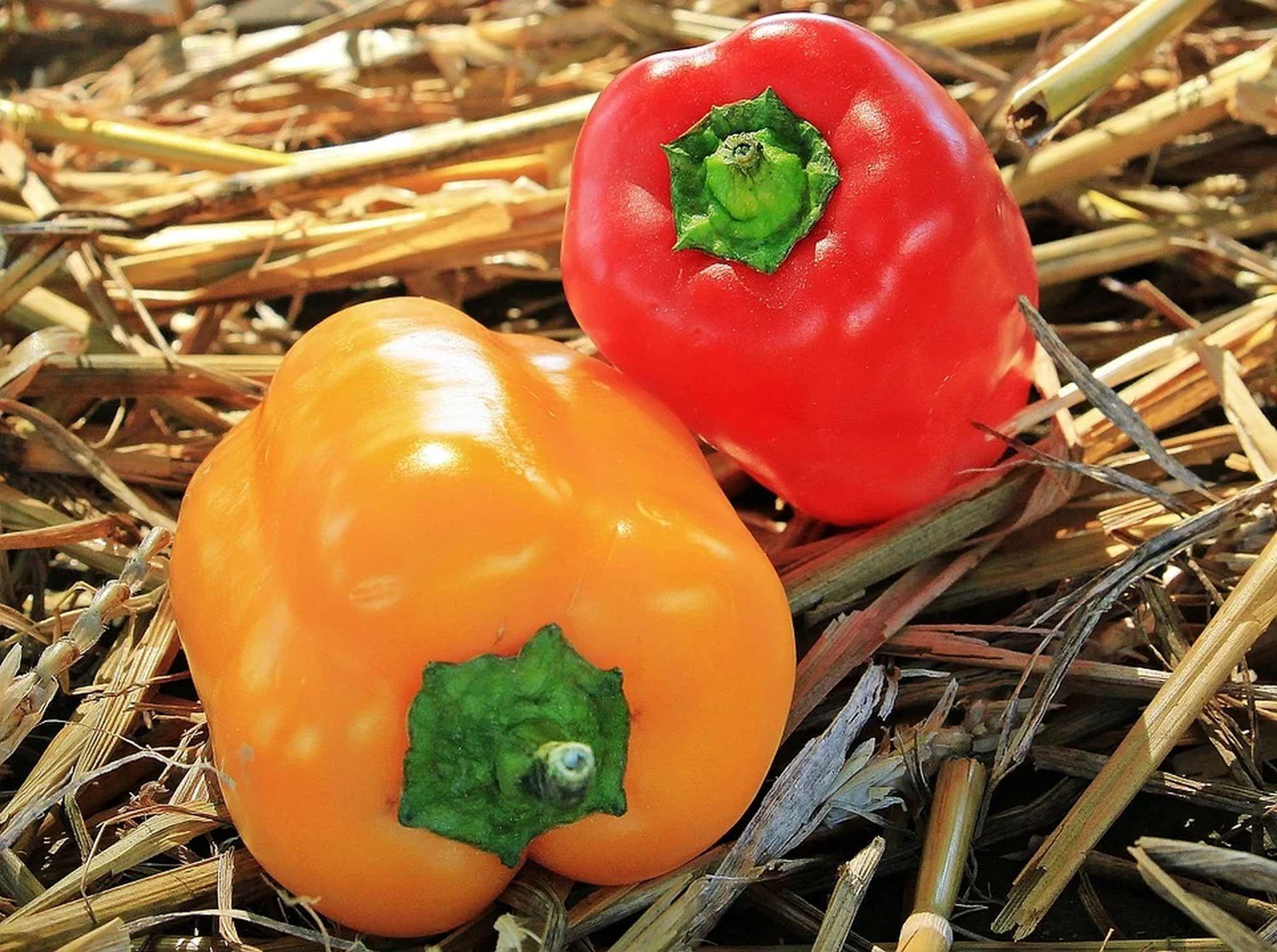 сладкий перец как выращивать